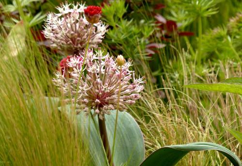 Blauzungenlauch*T 'Karatau': altrosa Blütenkugel auf breitem Stiel, blaubereifte Blätter