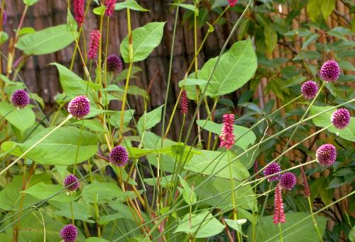 Kugelkopflauch*T Allium 'Sphaerocephalon': kleine Purpur-Köpfe auf dünnen Stielen