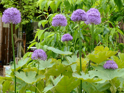 Zierlauch*T Allium 'Purple Sensation': tief purpur, großblumig