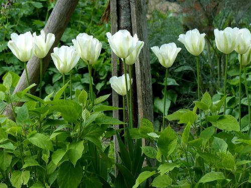 Tulpe, viridiflora 'Spring Green': elfenbeinweiß, grün gefiedert