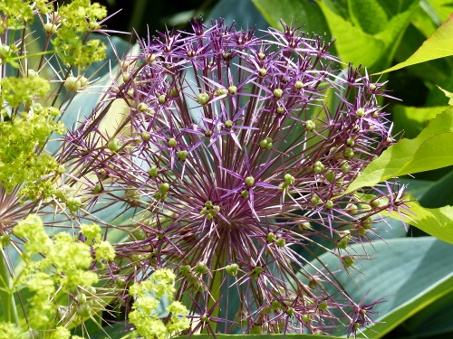 Sternkugel-Lauch Allium 'Christophii'