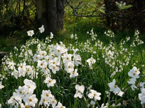 Dichter-Narzisse Narcissus poeticus 'Actaea': Robuste Narzisse mit unwiderstehlichem Duft!