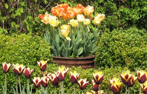 Triumpf-Tulpen Arrangement:  Tulipa 'Abu Hassan', 'Gavota' und 'Prinzessin Irene'