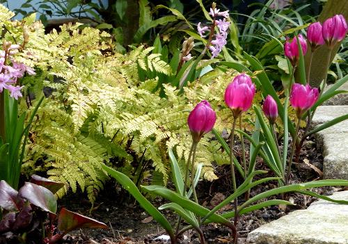 Zwerg-Tulpe 'Violacea Black Base': sehr frühe pinke Blüte mit dunkler Mitte, Duft!