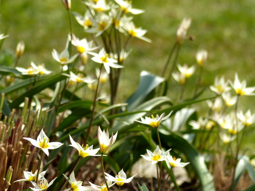 Zwerg-Tulpe*T turkestanica: 5-9 sternförmige Blüten, cremeweiß mit gelber Mitte, Duft!