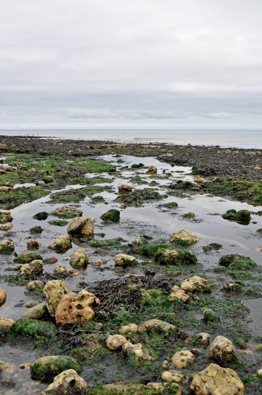 いちばんの引き潮の時には、まるで海藻の畑のよう。