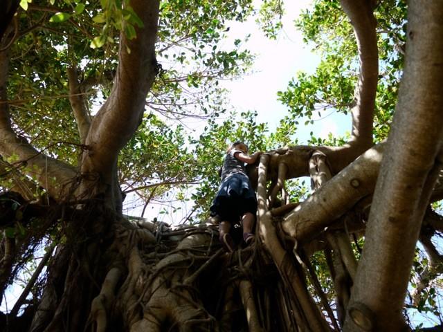 ガジュマルの大木を木登り