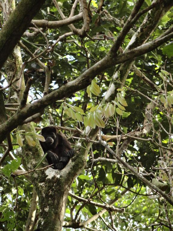 Observer les singes au panama