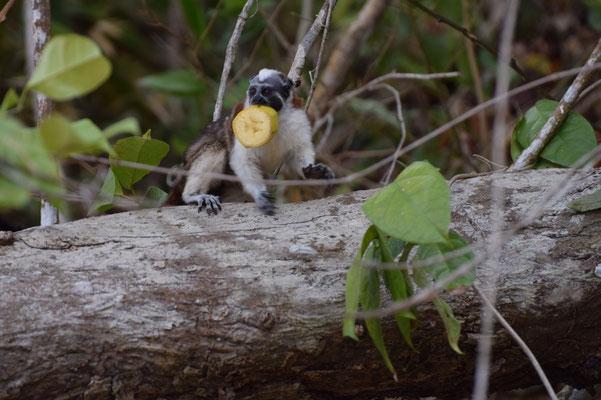 Observation des oiseaux panama