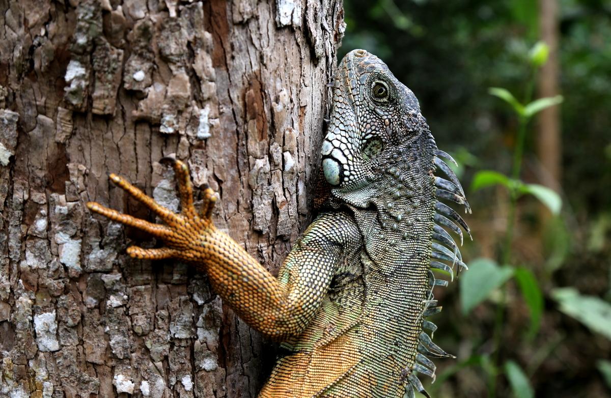 Iguana © Arbofino