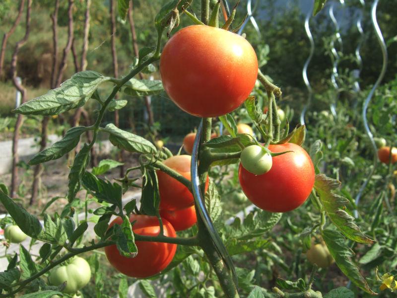 tomaten in de moestuin