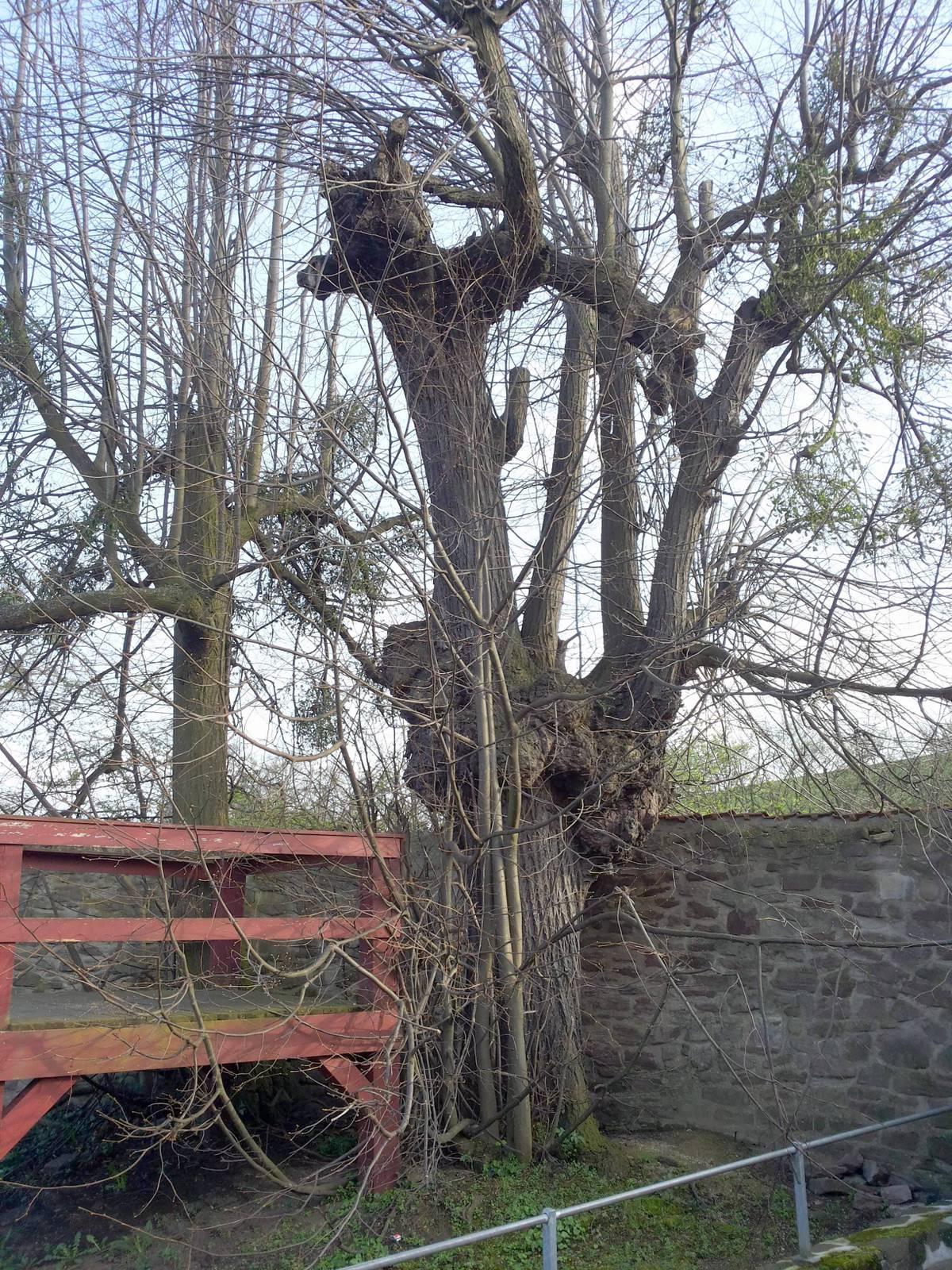 In diesen Linden war einmal ein Baumhaus für die Äbtissin
