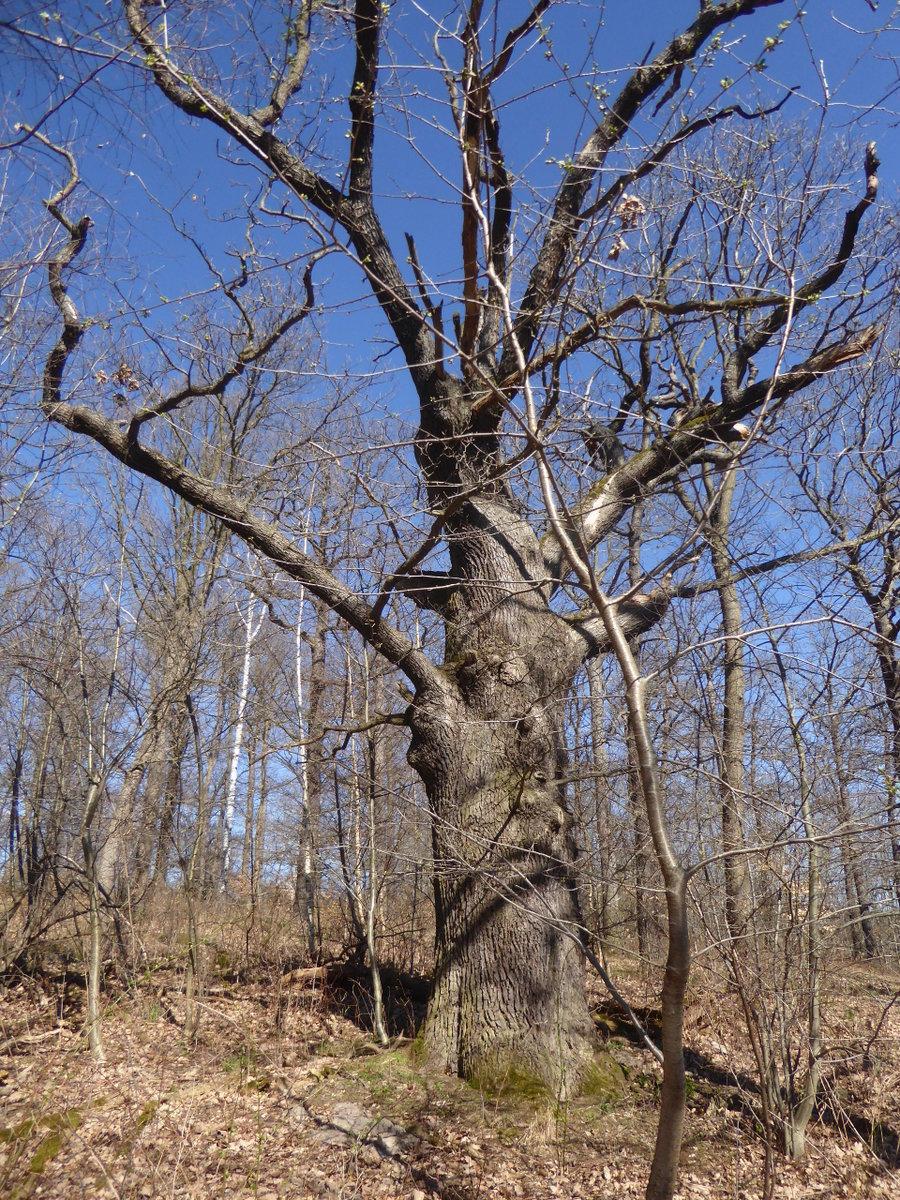 weiter Grenzbäume (Grenzmale)