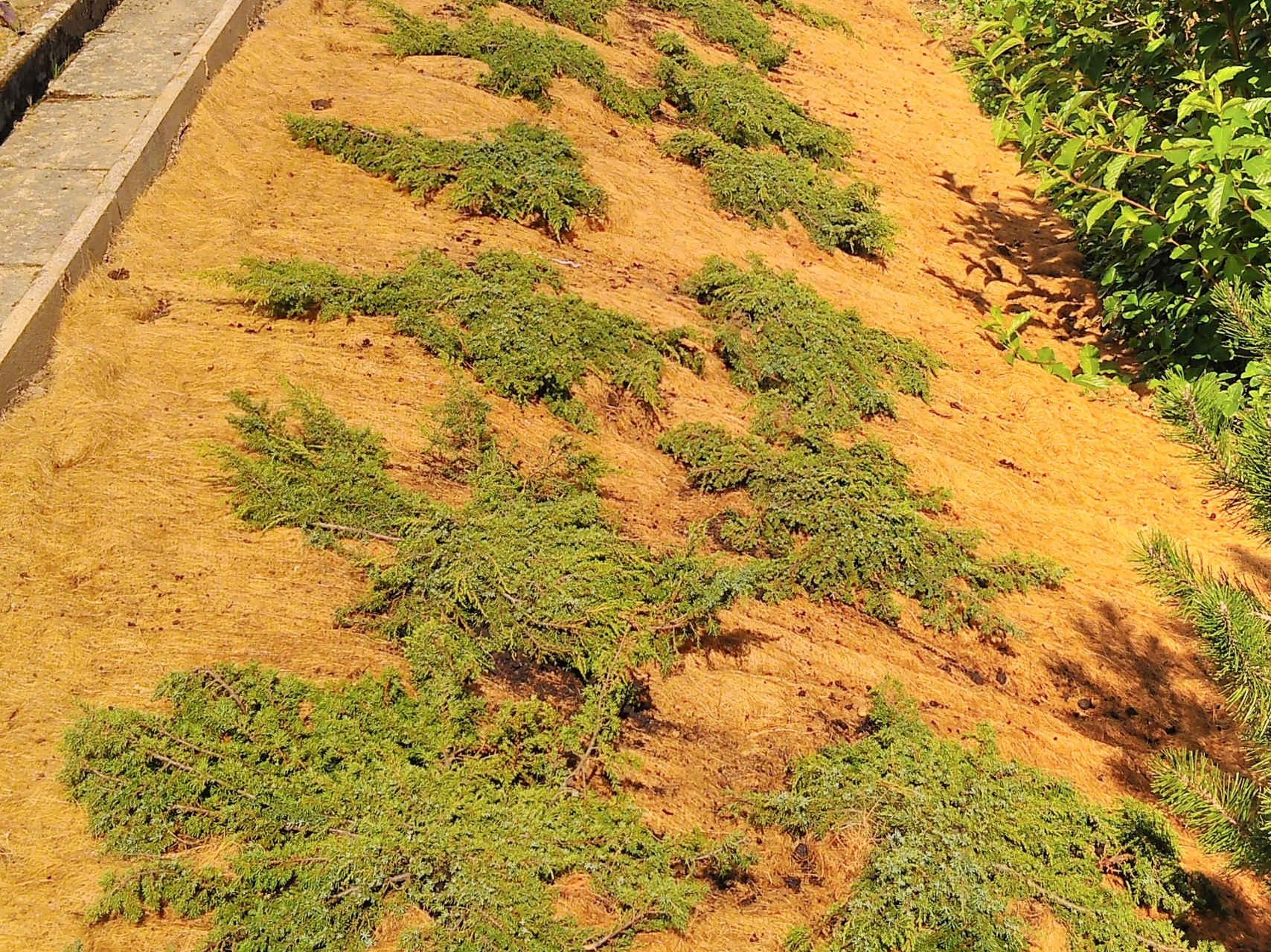 Bepflanzung Bodendecker in Kokosmatte an Böschung