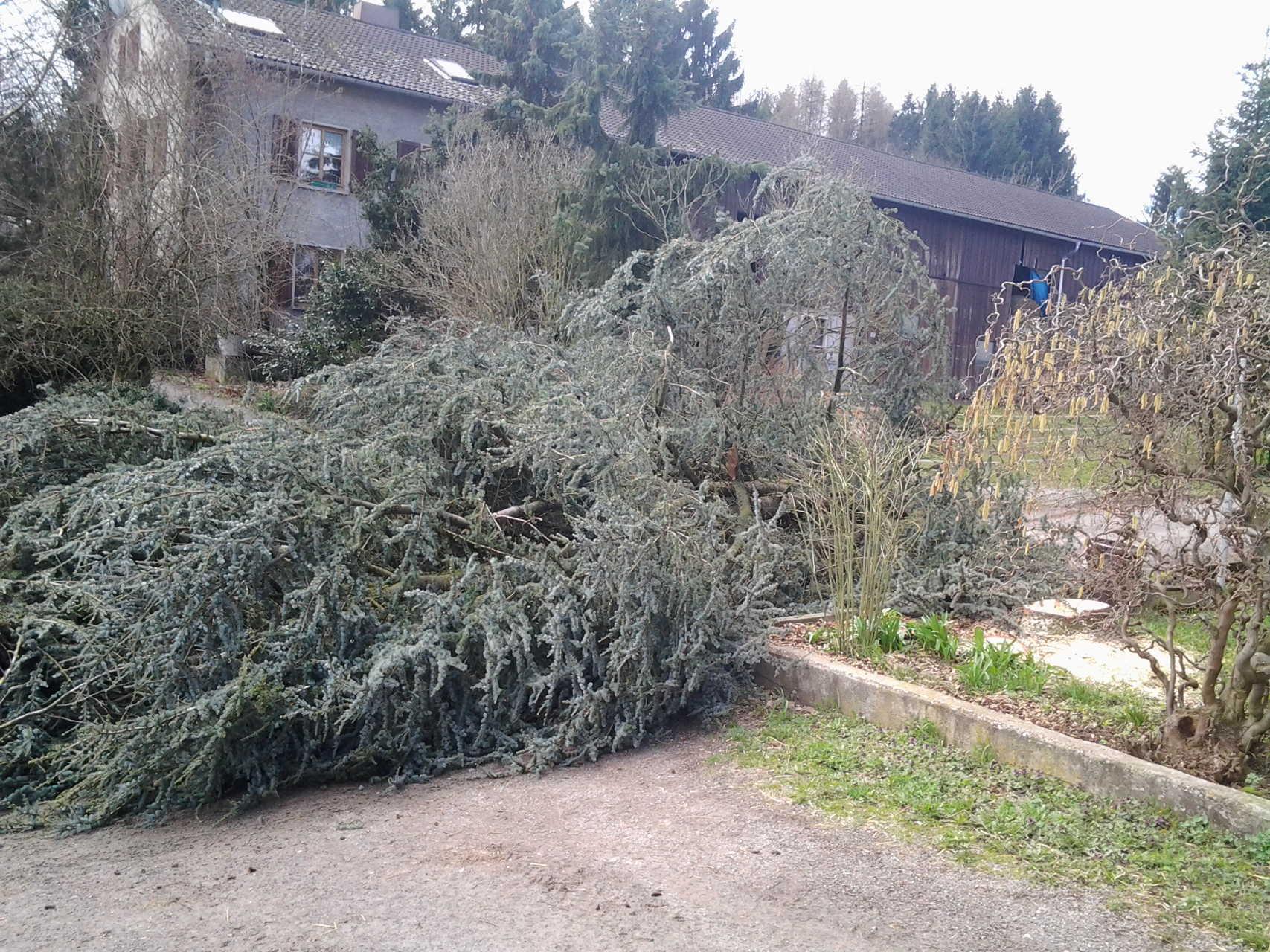 Platzierte Baumfällung bei ausreichendem Platzbedarf