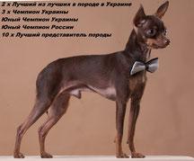 щенки русского той терьера