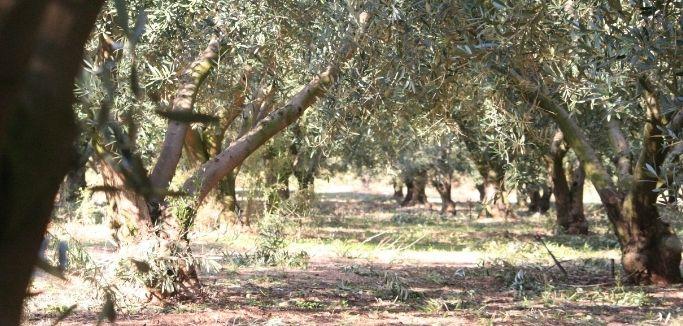 Ein Pangaea Olivenhain in Griechenland