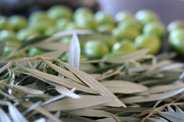 Pangaea Olivenöl aus Griechenland –grüne Oliven aus der Frühernte