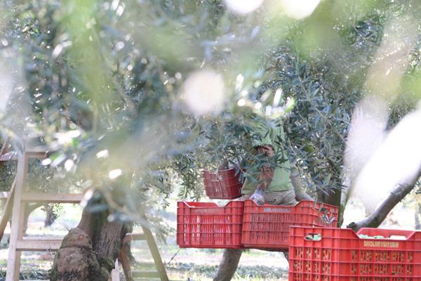 Pangaea Olivenöl aus Griechenland –Bild aus einem Olivenhain in Griechenland