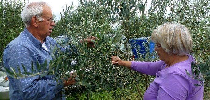 Kostas und Fotini Lakirdakis ernten per Hand die Oliven für das Pangaea Olivenöl