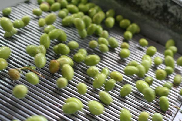 Pangaea Olivenöl aus Griechenland –in der Olivenölmühle –die Oliven werden gewaschen