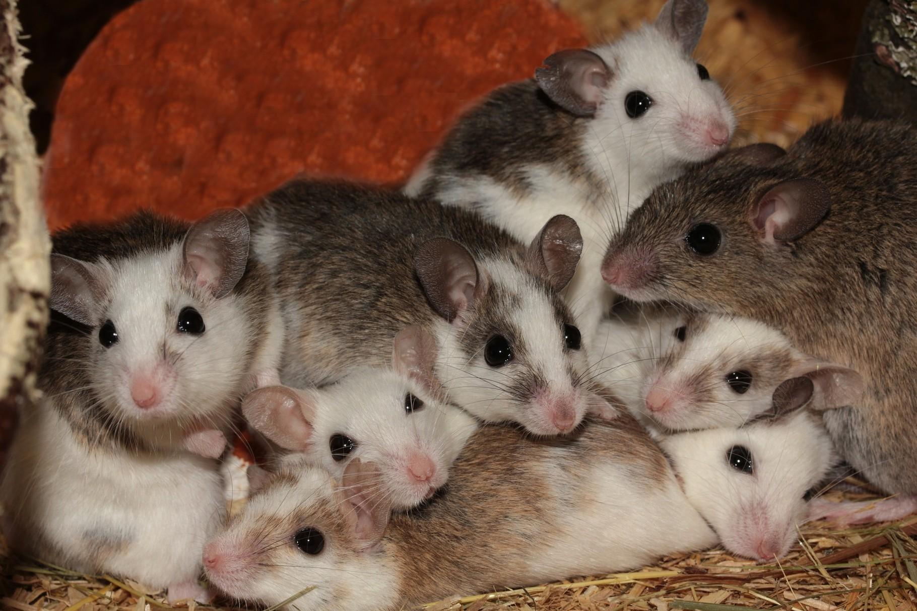 Artengesellschaft Mäuse Ratgeber
