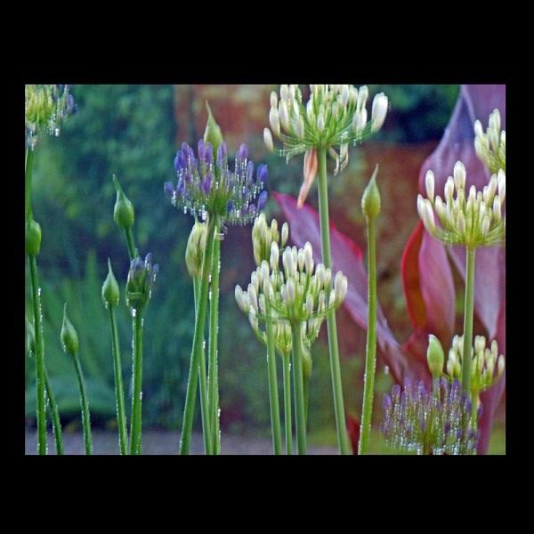 Brigitte Schön (Germany), African Lilies