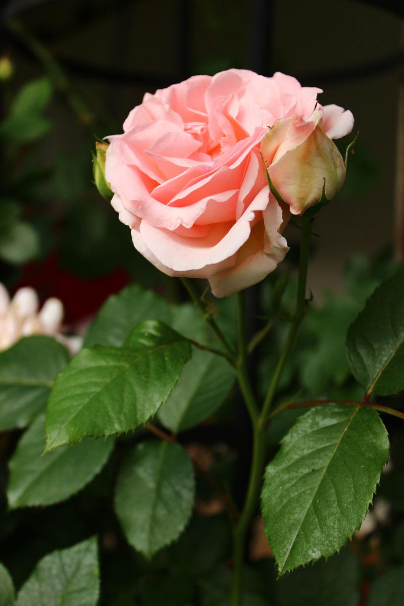 Die Rose ... Sinnbild für Schönheit und Liebe