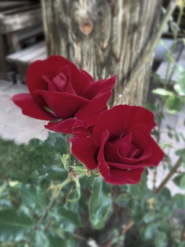 Du bist wie eine Rose mit vielen Dornen🌹