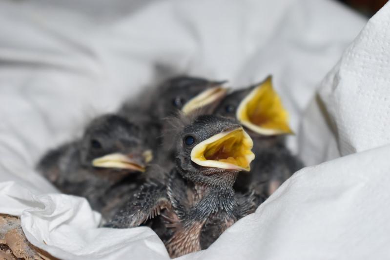 Zu den Schwalbenbabys erfahrt ihr mehr auf dem Kinder-Blog