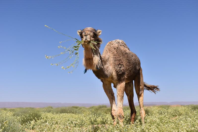 Dromis mögen Wüstenrukola