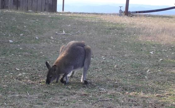 Wallaby du voisin - 2009