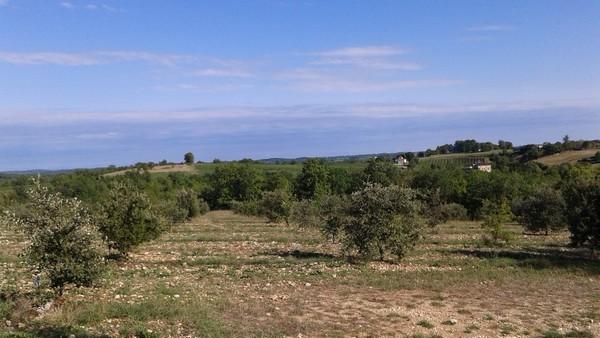 Vergers de pruniers d'Ente (pruneaux d'Agen) en Lot et Garonne  - photo A-M Uyttenbroeck