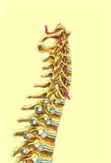 Bezug der Organe und Nerven zu den einzelnen Wirbeln.