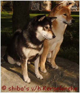 Black and tan & een rode shiba
