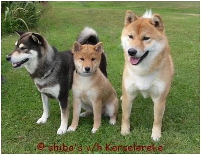 Trio of shiba