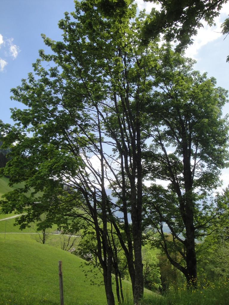 Ahorn mit Blätterpracht