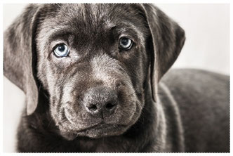 Labrador Retrieber charcoal