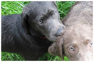 Foto Labradorwelpen silber charcoal