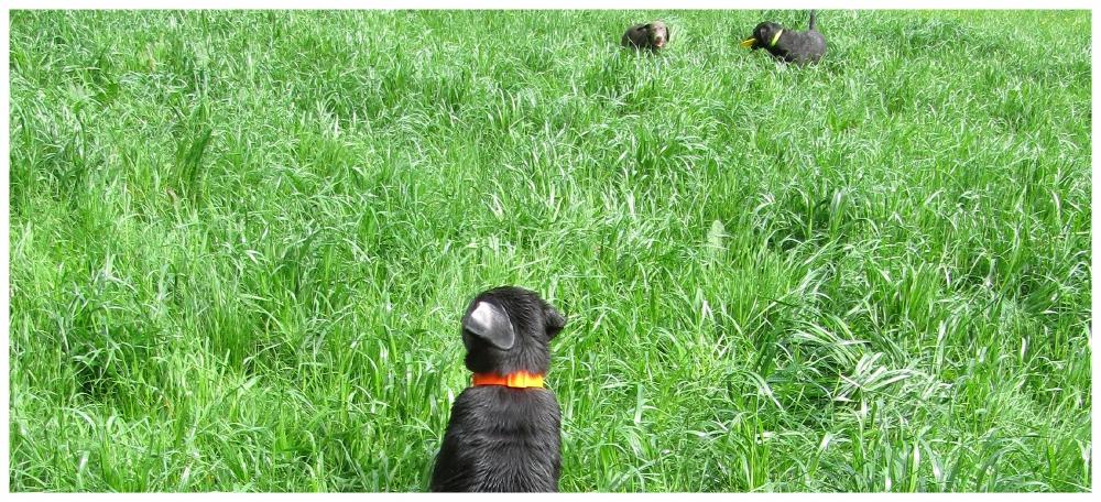 Foto Labradorwelpen silber charoal - labilu Remscheid