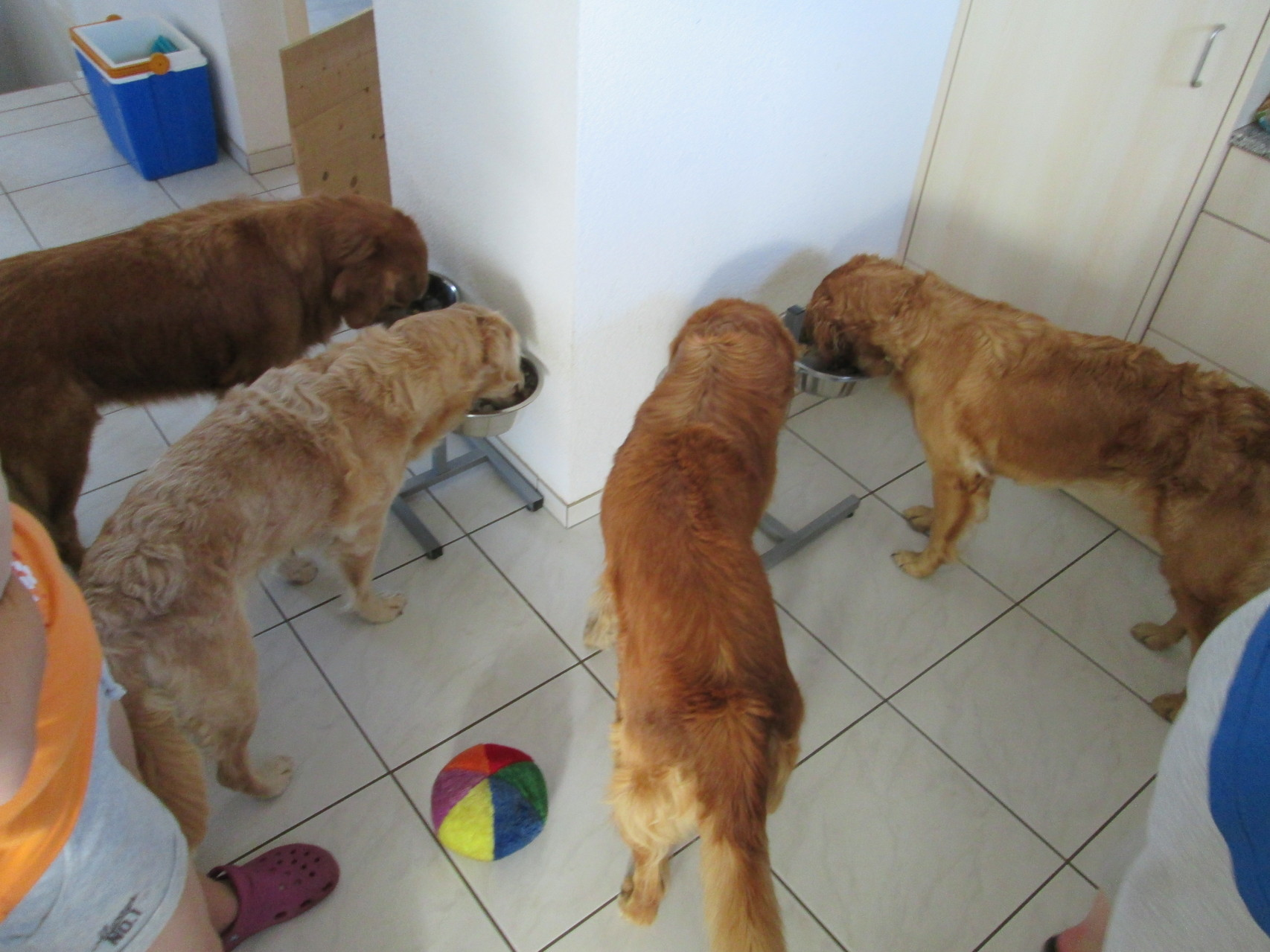 vier Hunde am Fressen