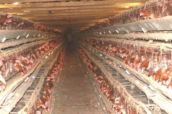 Risultati immagini per allevamento galline a terra