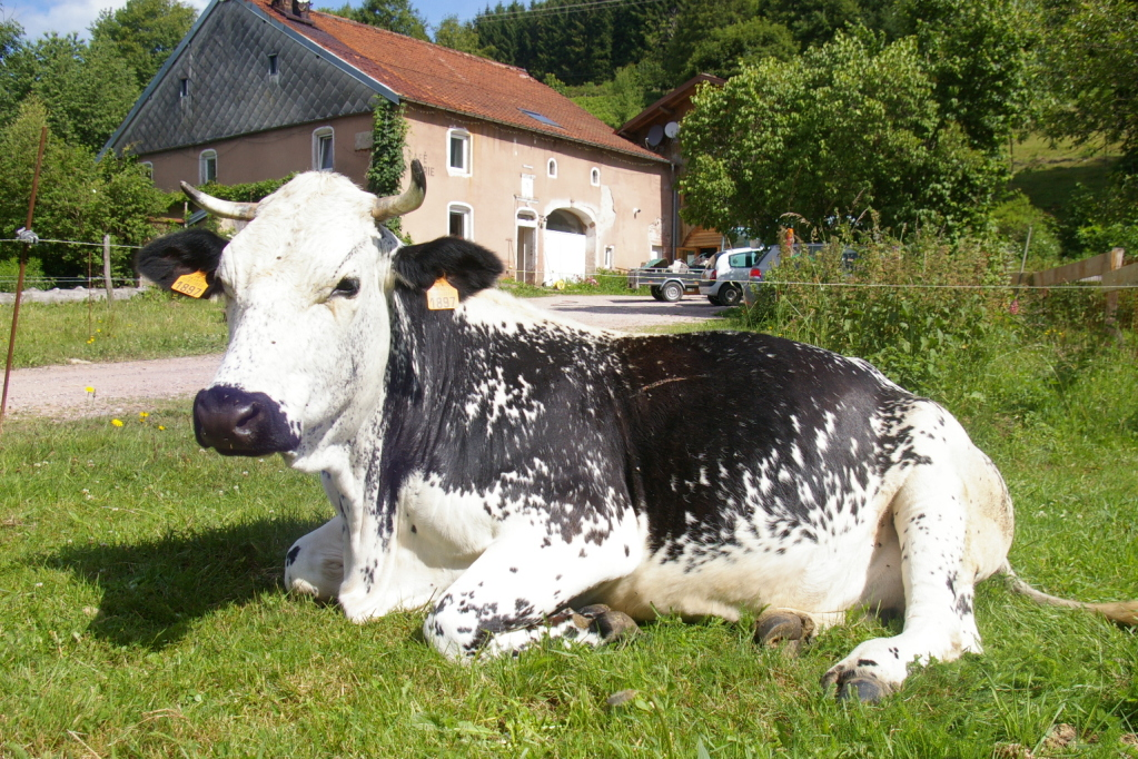 La race bovine Vosgienne