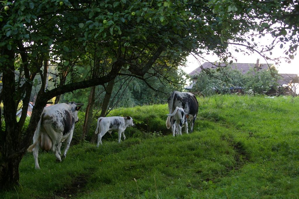 les vaches vosgiennes autour de la ferme