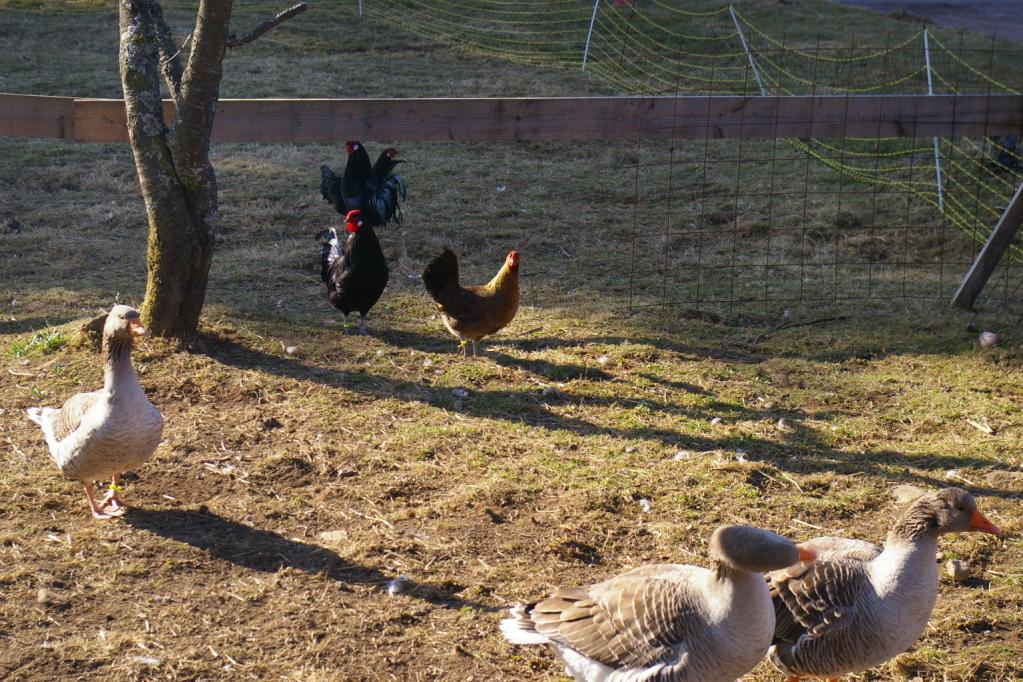 Les oies et poules d'Alsace, races à faible effectifs