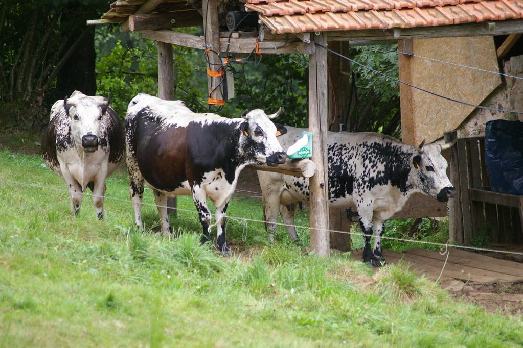les vaches se promènent autour du gîte