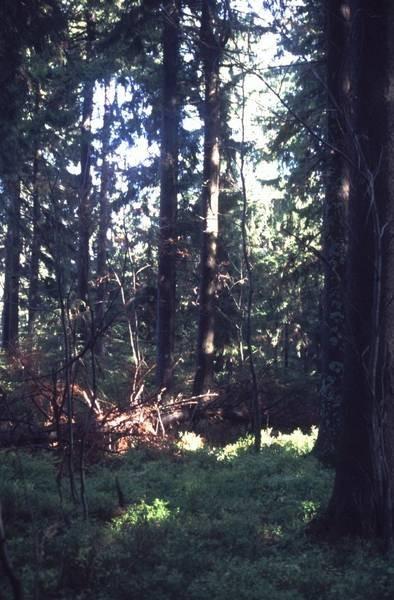 Bergfichtenwald (© N.Bertelsbeck)