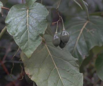 o groß wie ein kleiner Fußball: Früchte der Baumtomate (Cyphomandra betacea) aus Peru © N. Bertelsbeck