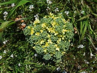 ブロッコリー 十字型のアブラナ科の花