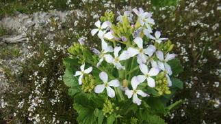 大根の花 アブラナ科では珍しく白色の花